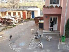 haită de câini vagabonzii Aleșd