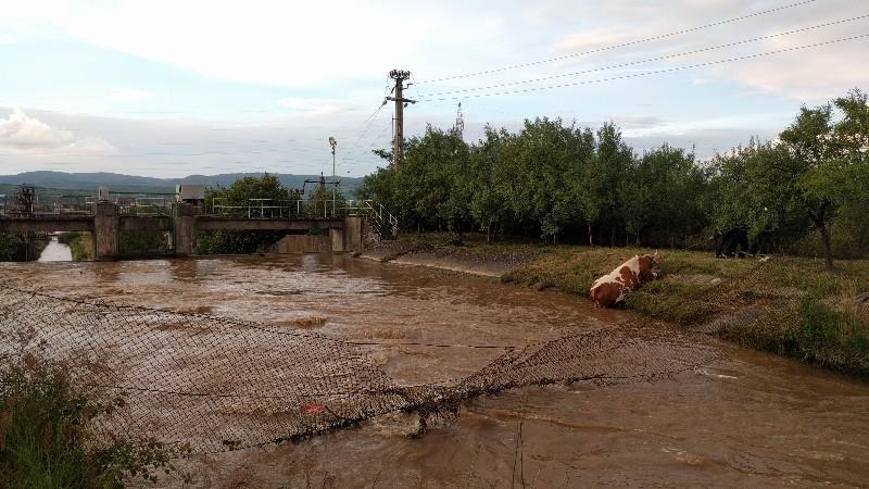 Vacă salvată de pompieri, după ce a căzut într-un canal de fugă din Aștileu 3 -800x450