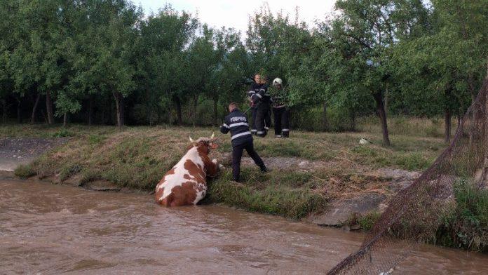 Vacă salvată de pompieri, după ce a căzut într-un canal de fugă din Aștileu-800x450