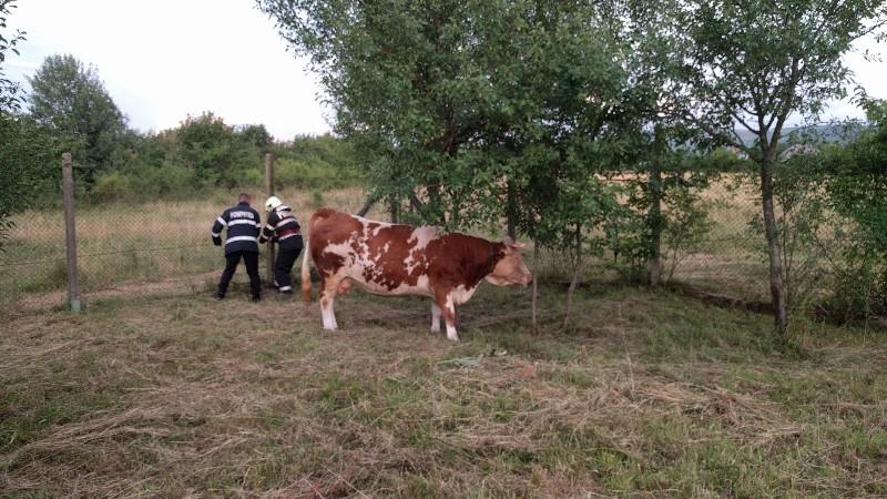 Vacă salvată de pompieri, după ce a căzut într-un canal de fugă din Aștileu 5 -800x450