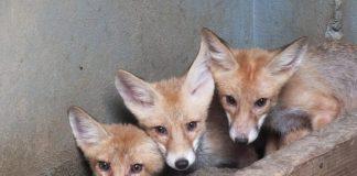 vulpi roșcate-800x534