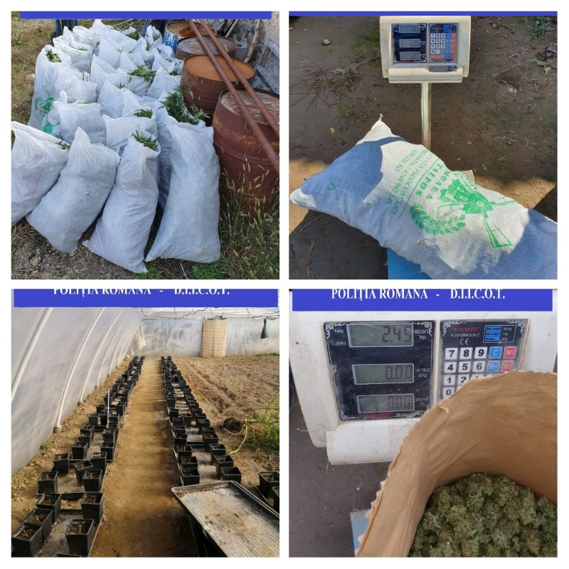 Plantație de cannabis descoperită în Bihor-3