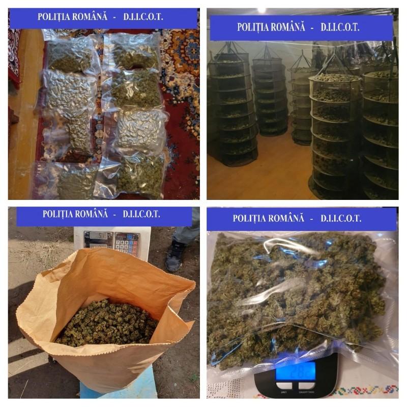 Plantație de cannabis descoperită în Bihor