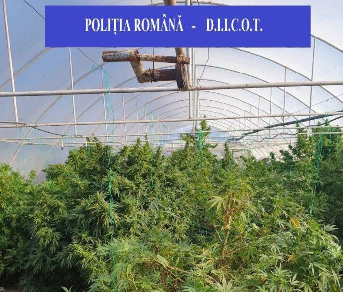 foto 1 BCCO cannabis~2-800x680