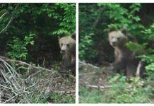 Urs între Bratca și Beiuș