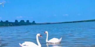 Lebede pe lacul Crestur din Bihor