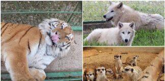 Lupi arctici și tigri siberieni la Zoo Oradea
