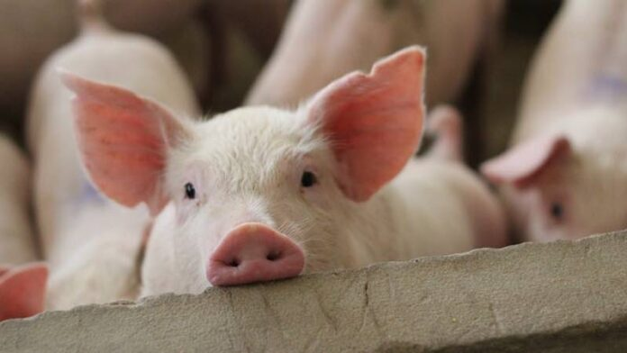 Porc pestă porcină