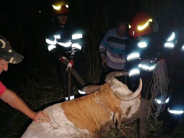 Vacă salvată de pompieri